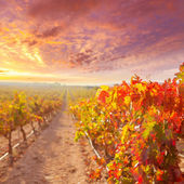 Sunrise in vineyard at Utiel Requena vineyards spain — Foto Stock