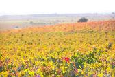 Höstens gyllene röda vingårdar solnedgång i utiel requena — Stockfoto