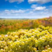 Chardonnay harvesting with wine grapes harvest — Foto de Stock
