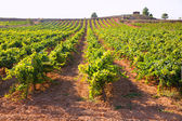 Mediterranean vineyards in Utiel Requena at Spain — Stock Photo