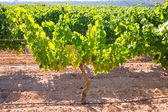 Chardonnay Wine grapes in vineyard raw ready for harvest — Photo
