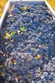 Mediterranean vineyard harvest cabernet sauvignon grape field — Stock Photo