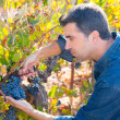 Mediterranean vineyard farmer harvest cabernet sauvignon — Stock Photo #34420049