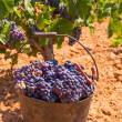 Bobal harvesting with wine grapes harvest — Stockfoto