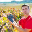 Winemaker harvesting Bobal grapes in mediterranean — Stock Photo