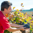 Stock Photo: Winemaker harvesting Bobal grapes in mediterranean