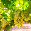 Stock Photo: Chardonnay Wine grapes in vineyard raw ready for harvest