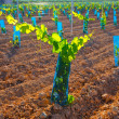 Vineyard sprouts baby grape vines in a row — Stock Photo
