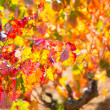 Autumn colorful golden red vineyard leaves — Stockfoto
