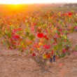 Autumn golden red vineyards sunset in Utiel Requena — Stockfoto