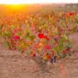 Autumn golden red vineyards sunset in Utiel Requena — Stock Photo #34423761