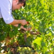 Foto de Stock  : Chardonnay harvesting with wine grapes harvest
