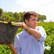 Stockfoto: Chardonnay harvesting with harvester farmer winemaker
