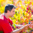 Stock Photo: Mediterranevineyard farmer checking grape leaves