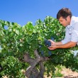 Winemaker oenologist checking bobal wine grapes — Stock Photo #34424811