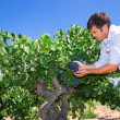 Stock Photo: Winemaker oenologist checking bobal wine grapes