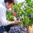 Bobal harvesting with harvester farmer winemaker — Stock Photo