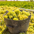 Chardonnay harvesting with wine grapes harvest — Стоковая фотография