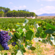 Bobal wine grapes ready for harvest in Mediterranean — ストック写真