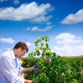 Winemaker oenologist checking Tempranillo wine grapes — Stock Photo