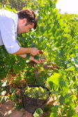 Chardonnay harvesting with wine grapes harvest — Zdjęcie stockowe