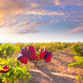 Podzimní zlatý červená vinice v utiel requena — Stock fotografie