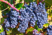Bobal Wine grapes in vineyard raw ready for harvest — Foto Stock