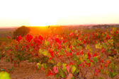 Autumn golden red vineyards sunset in Utiel Requena — Stock Photo