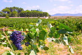 Bobal wine grapes ready for harvest in Mediterranean — Stock Photo