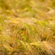 Menorca golden wheat fields in Ciutadella — Stock Photo