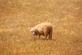 Menorca sheep grazing in golden dried meadow — Stock Photo
