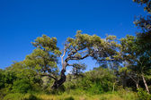 Menorca oak tree forest in northern cost near Cala Pilar — Stock Photo