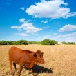 Stock Photo: Menorcbrown cow grazing in golden field near Ciutadella