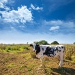 Stock Photo: Menorcfriesicow grazing near CiutadellBalearic
