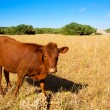Menorca brown cow grazing in golden field near Ciutadella — Stock Photo