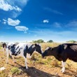Friesian cows kissing each other in Menorca Balearic — Stock Photo #35194001