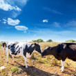Stock Photo: Friesian cows kissing each other in Menorca Balearic