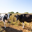 Menorca friesian cows cattle grazing near Ciutadella — Stock Photo