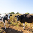 Stock Photo: Menorcfriesicows cattle grazing near Ciutadella