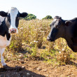 Menorca friesian cows cattle grazing near Ciutadella — Stock Photo #35195527