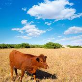 Menorca brown cow grazing in golden field near Ciutadella — Stock Photo