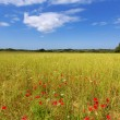 Menorca Ciutadella green grass meadows with red poppies — Stock Photo