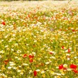 Menorca spring field with poppies and daisy flowers — Lizenzfreies Foto