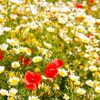 Menorca spring field with poppies and daisy flowers — Stok fotoğraf