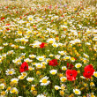 Menorca spring field with poppies and daisy flowers — Stock Photo