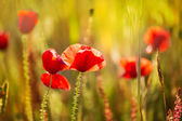 Poppies Poppy red flowers in Menorca spring fields — Stock Photo