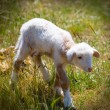 Baby lamb newborn sheep standing on grass field — Stock Photo