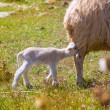 Mother sheep and baby lamb nursing in a field — Stock Photo