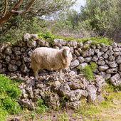 Lamb sheep in mediterranean landscape at Menorca — Stock Photo