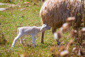 Mother sheep and baby lamb grazing in a field — Stock Photo